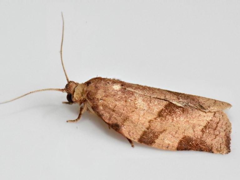 17.5.28 Choristoneura rosaceana - Oblique-banded Leafroller