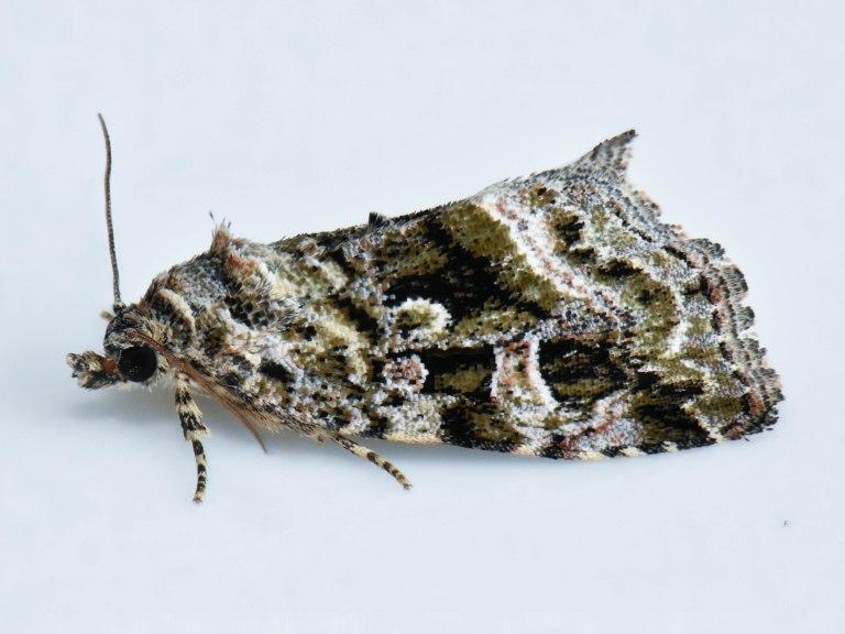 17.5.28 Protodeltote muscosula - Large Mossy Lithacodia